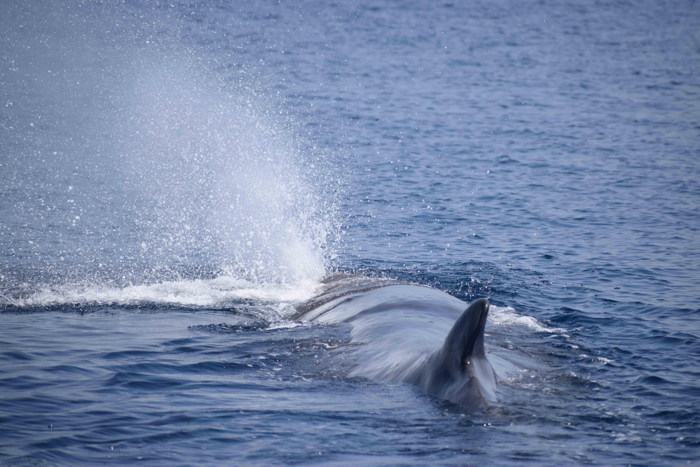 Capodoglio - Sperm whale